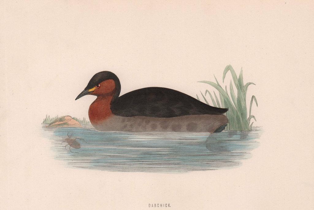 Dabchick. Morris's British Birds. Antique colour print 1870 old