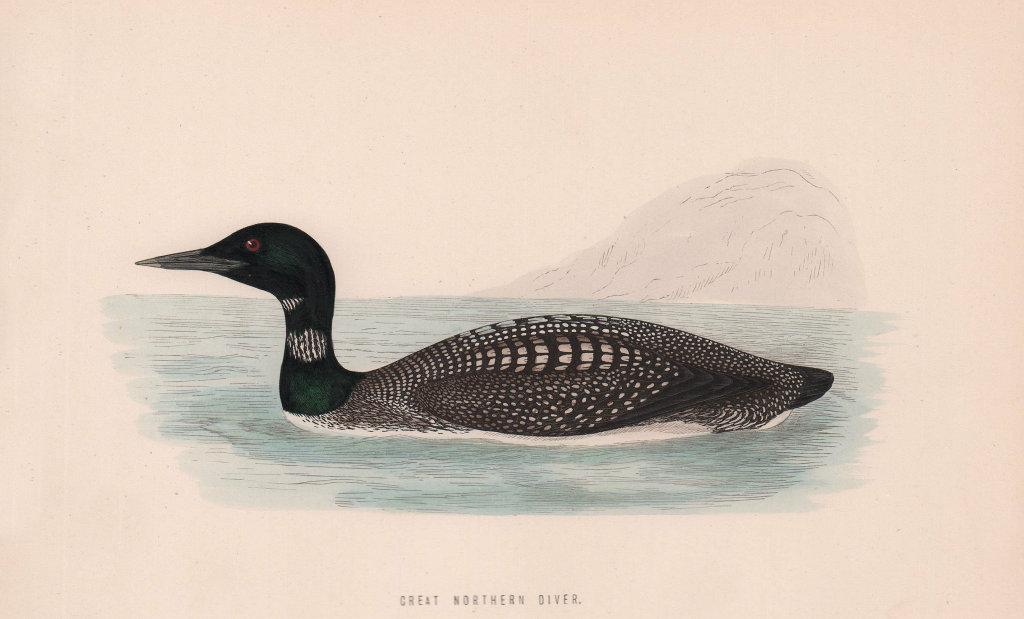 Great Northern Diver. Morris's British Birds. Antique colour print 1870