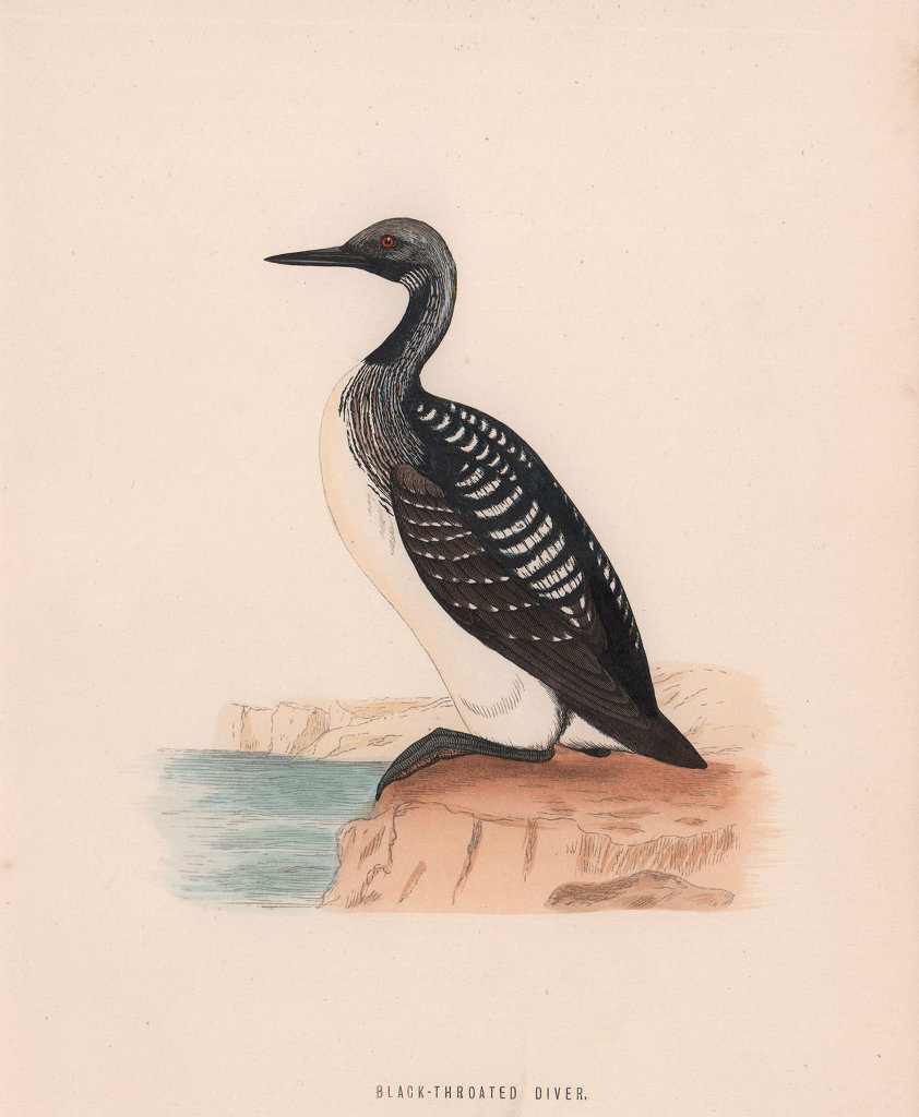 Black-Throated Diver. Morris's British Birds. Antique colour print 1870