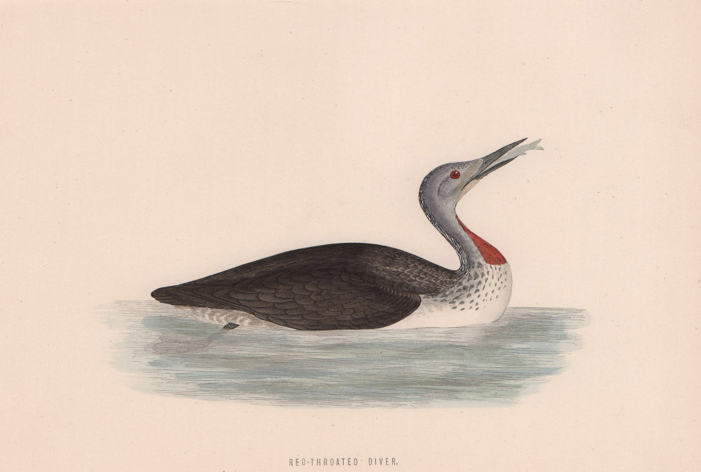 Red-Throated Diver. Morris's British Birds. Antique colour print 1870