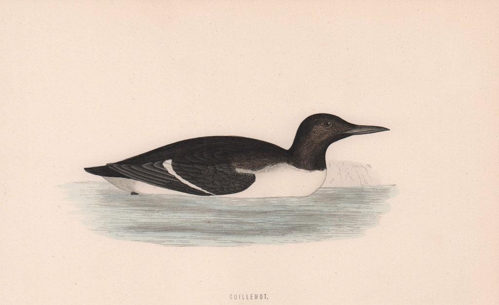 Guillemot. Morris's British Birds. Antique colour print 1870 old