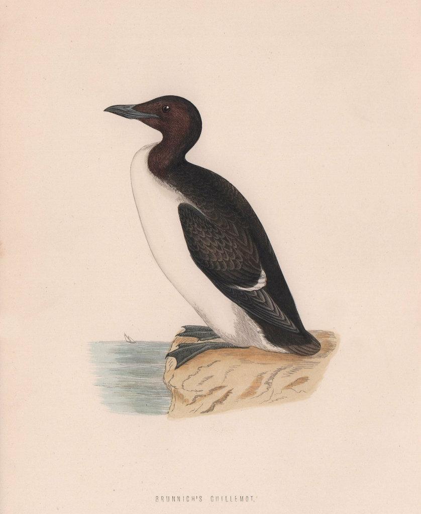 Brunnich's Guillemot. Morris's British Birds. Antique colour print 1870