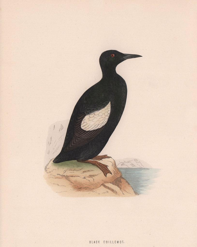 Black Guillemot. Morris's British Birds. Antique colour print 1870 old