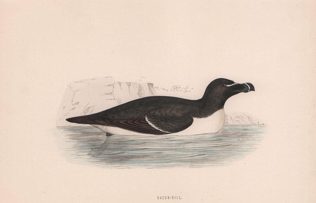 Razor-bill. Morris's British Birds. Antique colour print 1870 old