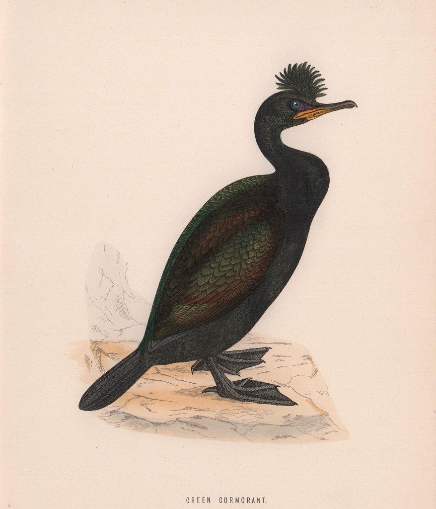 Green Cormorant. Morris's British Birds. Antique colour print 1870 old