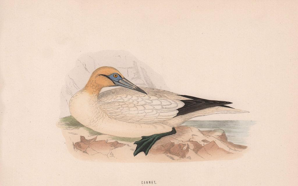 Gannet. Morris's British Birds. Antique colour print 1870 old