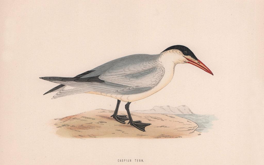Caspian Tern. Morris's British Birds. Antique colour print 1870 old