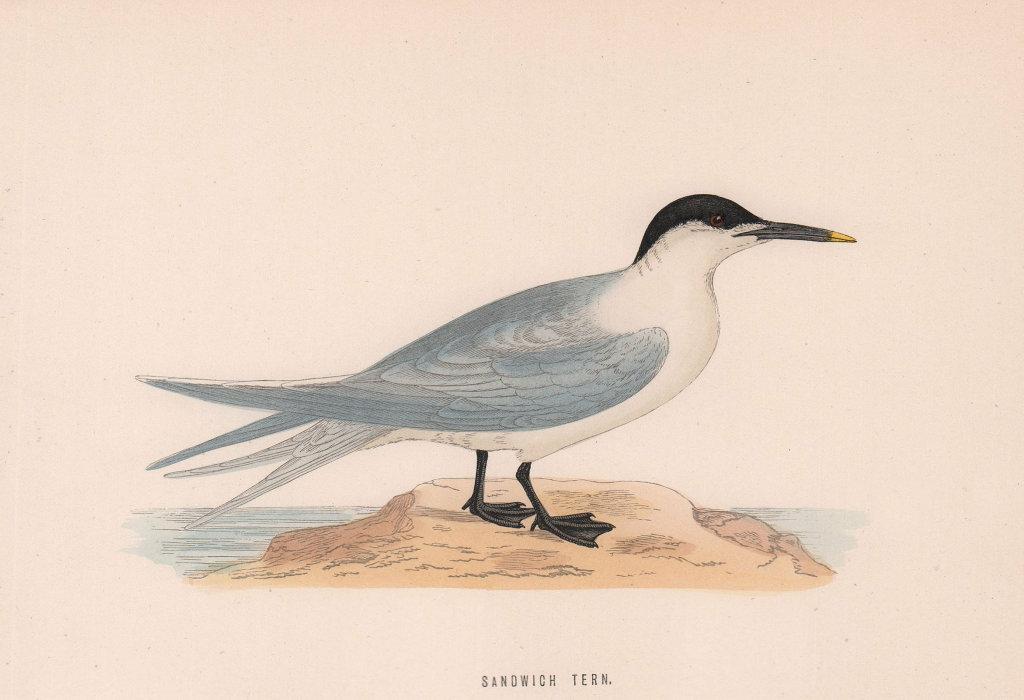 Sandwich Tern. Morris's British Birds. Antique colour print 1870 old