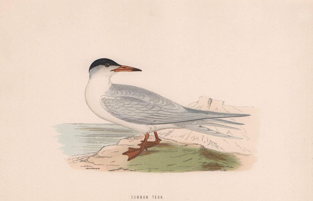 Common Tern. Morris's British Birds. Antique colour print 1870 old