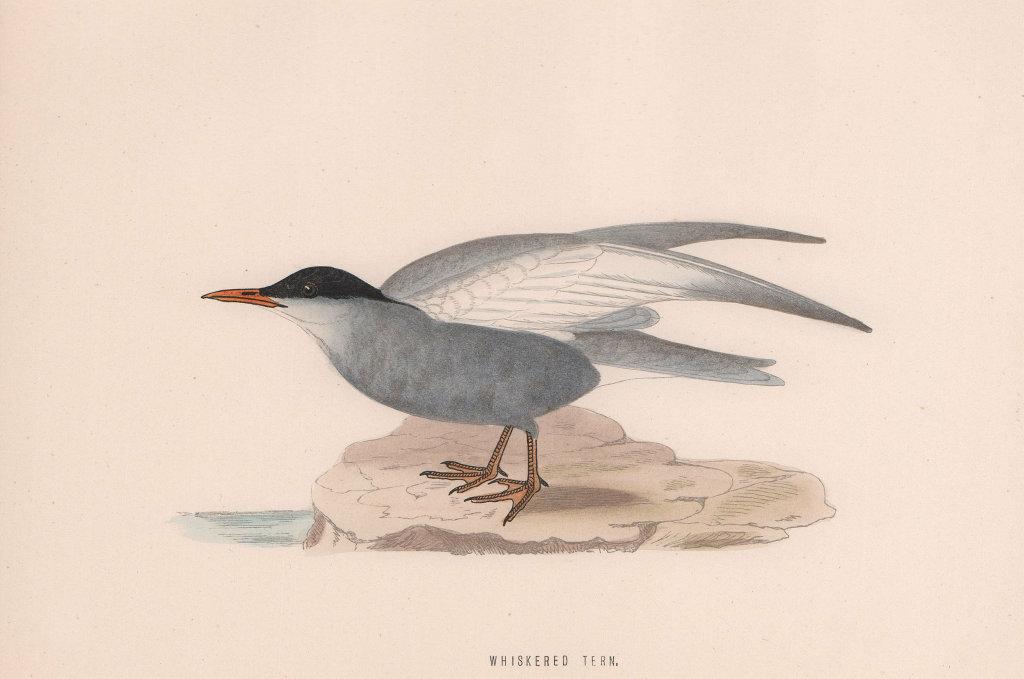 Whiskered Tern. Morris's British Birds. Antique colour print 1870 old