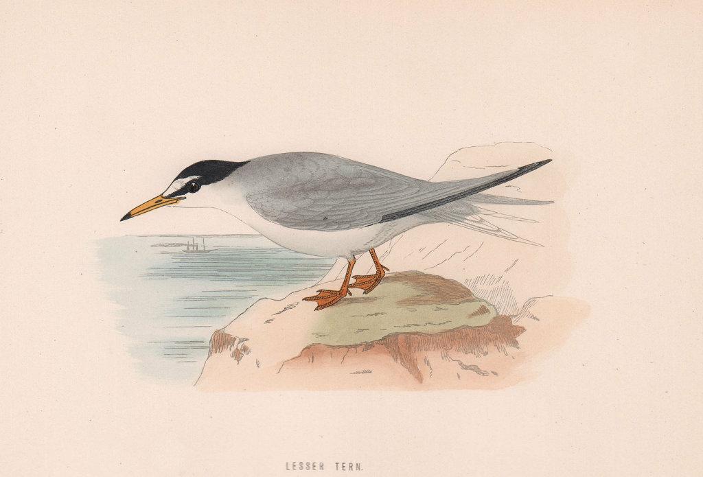 Lesser Tern. Morris's British Birds. Antique colour print 1870 old