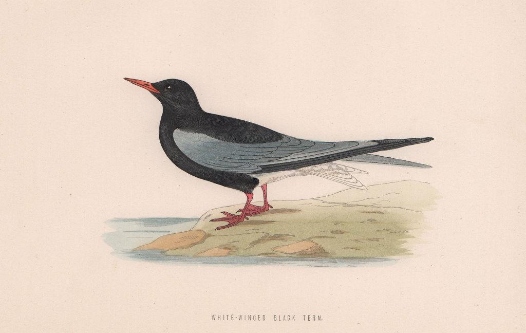 White-Winged Black Tern. Morris's British Birds. Antique colour print 1870