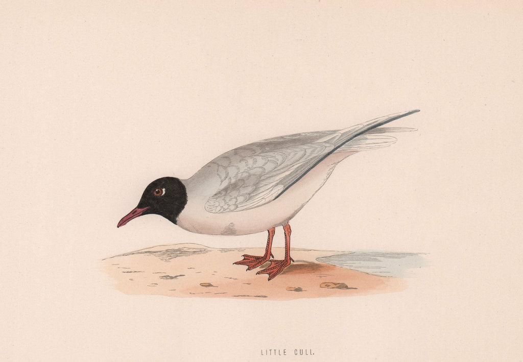 Little Gull. Morris's British Birds. Antique colour print 1870 old