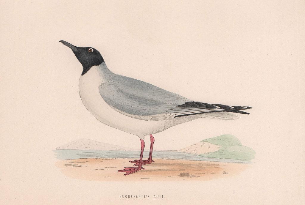 Buonaparte's Gull. Morris's British Birds. Antique colour print 1870 old