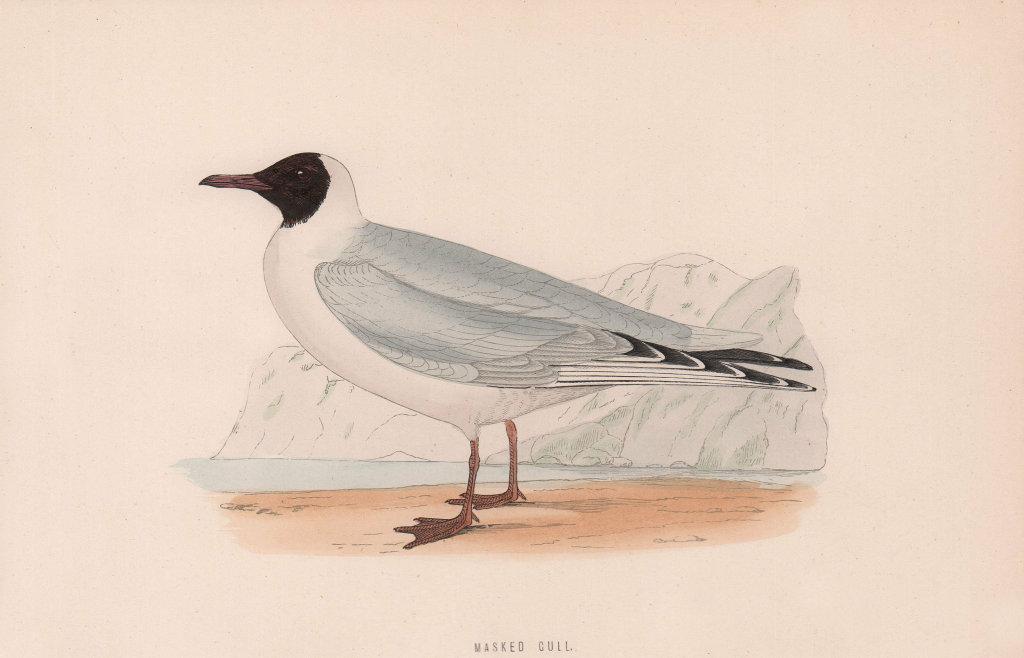 Masked Gull. Morris's British Birds. Antique colour print 1870 old
