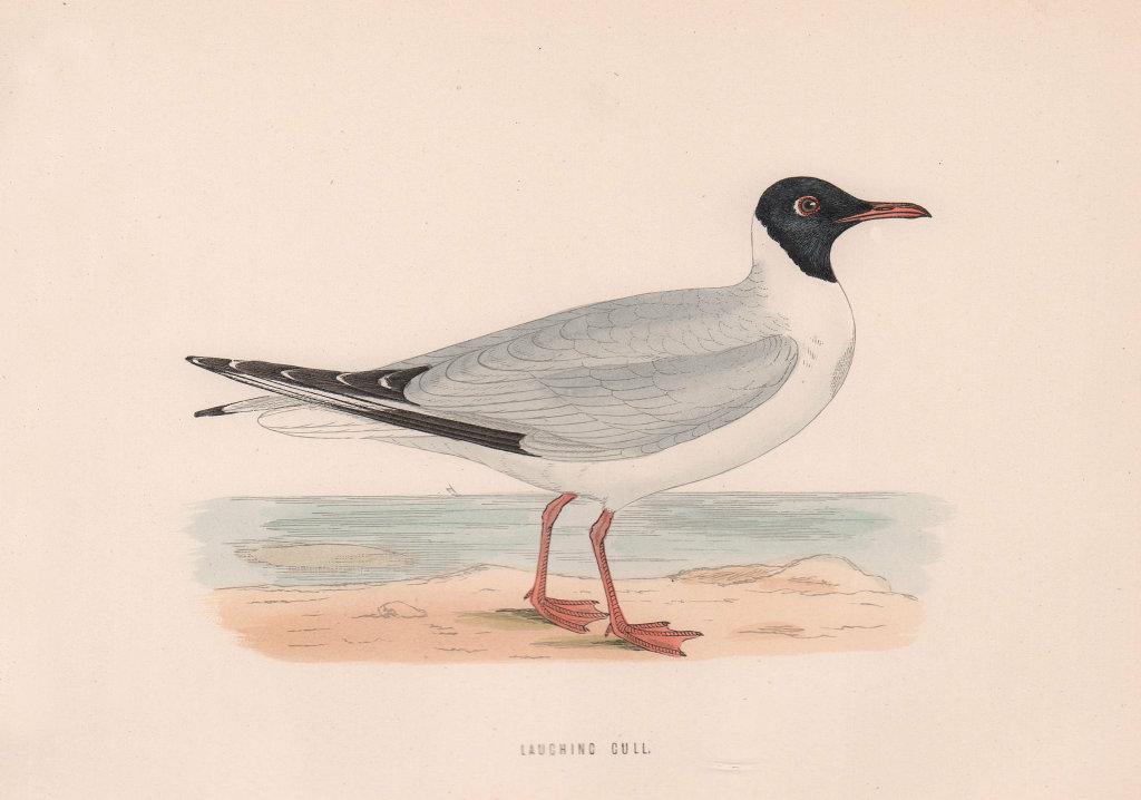 Laughing Gull. Morris's British Birds. Antique colour print 1870 old