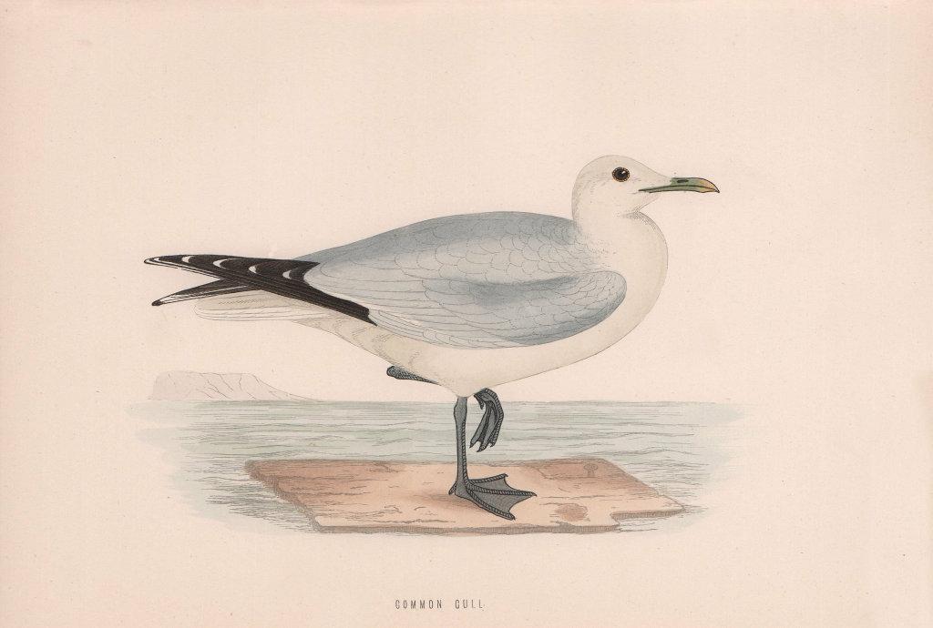 Common Gull. Morris's British Birds. Antique colour print 1870 old