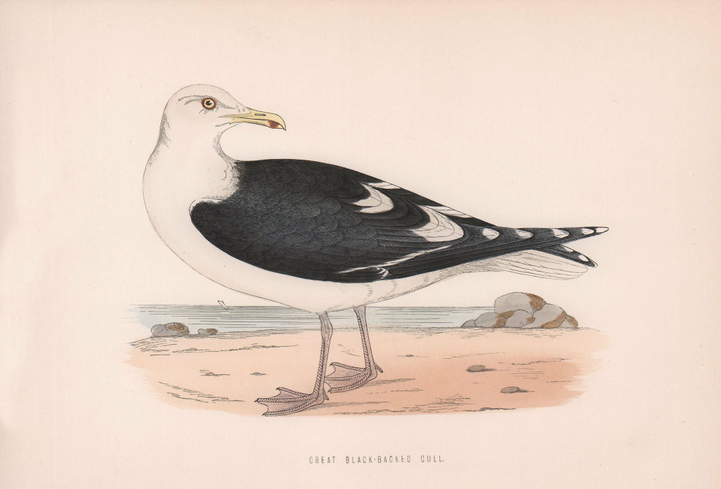 Great Black-Backed Gull. Morris's British Birds. Antique colour print 1870