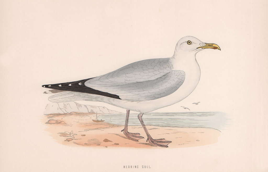 Herring Gull. Morris's British Birds. Antique colour print 1870 old