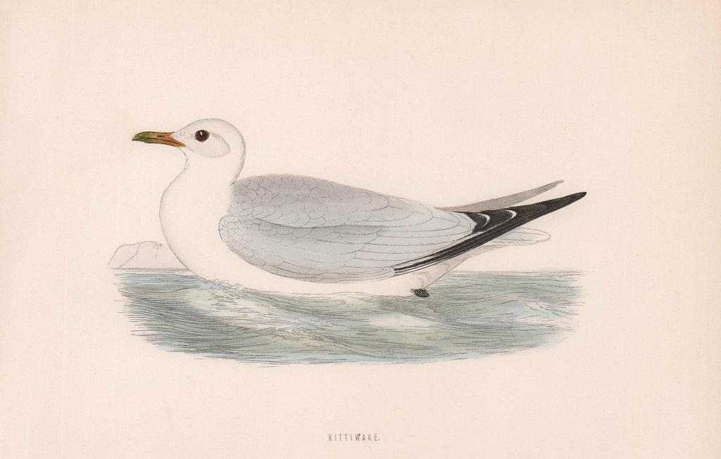 Kittiwake. Morris's British Birds. Antique colour print 1870 old