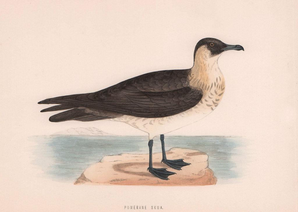 Pomerine Skua. Morris's British Birds. Antique colour print 1870 old