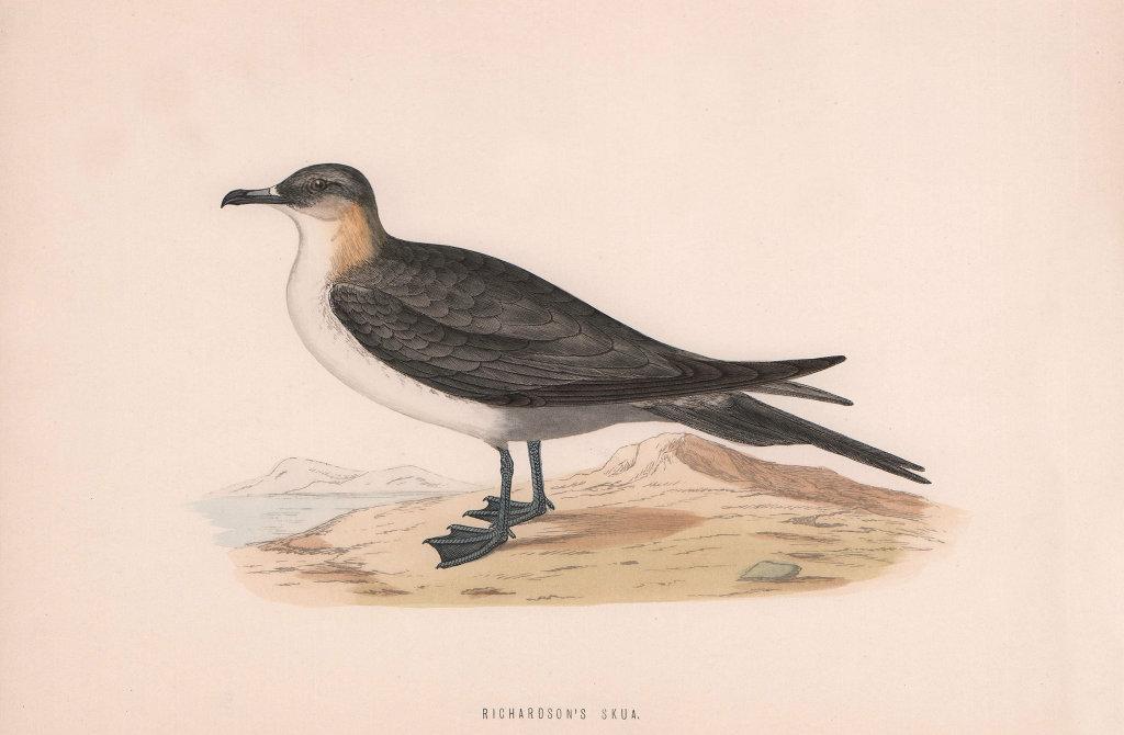 Richardson's Skua. Morris's British Birds. Antique colour print 1870 old
