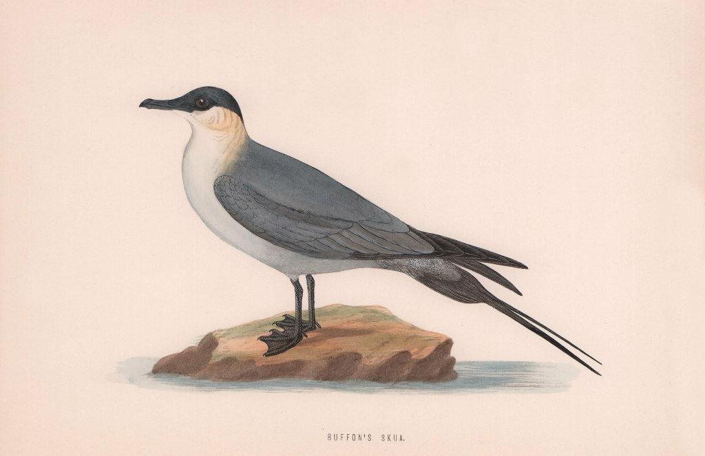 Buffon's Skua. Morris's British Birds. Antique colour print 1870 old