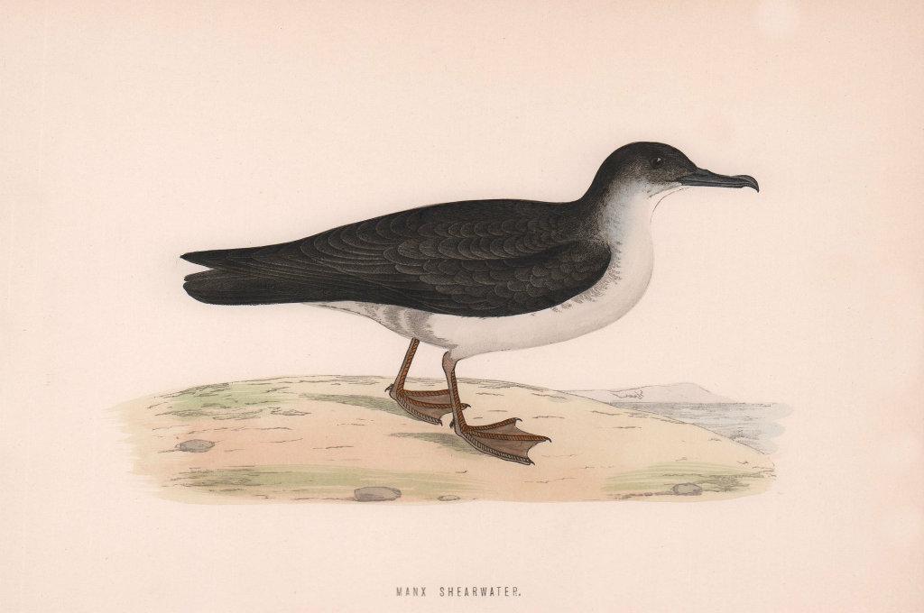Manx Shearwater. Morris's British Birds. Antique colour print 1870 old