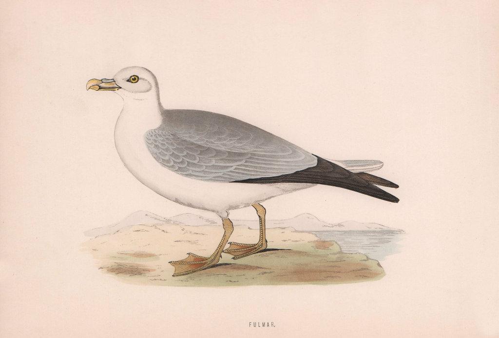 Fulmar. Morris's British Birds. Antique colour print 1870 old