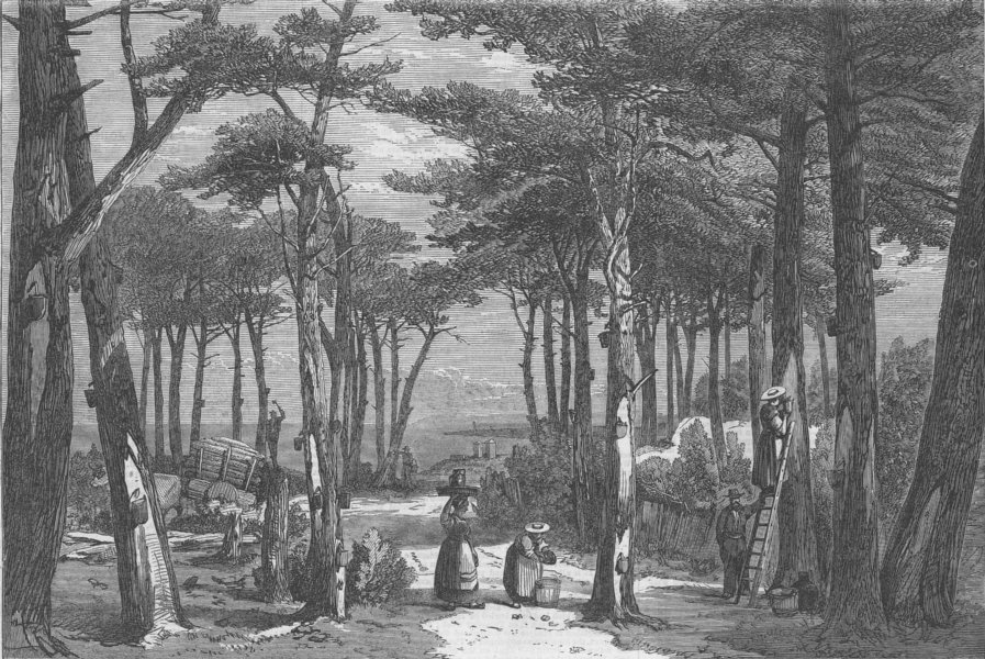 Associate Product FRANCE. Resin Gathering, Pine Forests of Landes, antique print, 1866