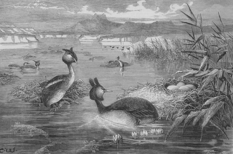 Associate Product BIRDS:Grebes and their nests, antique print, 1882