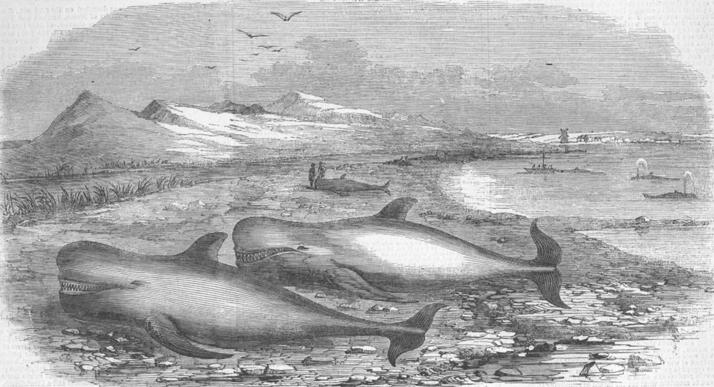 Associate Product SCOTLAND. Shoal of Whales in the Solway Firth, antique print, 1855