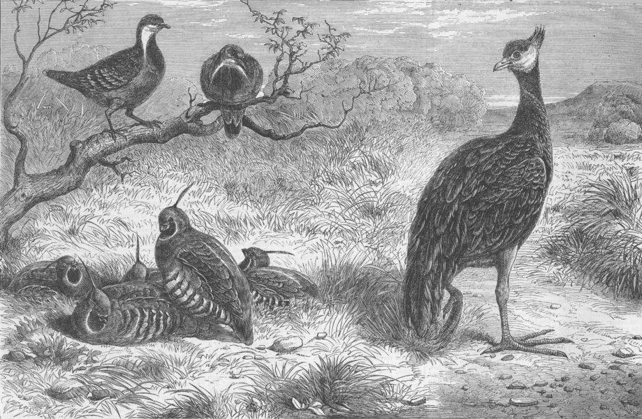 Associate Product BIRDS. Pigeons, Plumed Colins, Derbyan Screamer, antique print, 1863