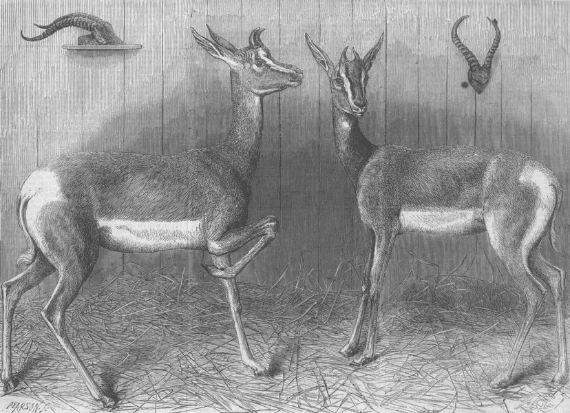 Associate Product LONDON. Antelopes from Sudan, antique print, 1867