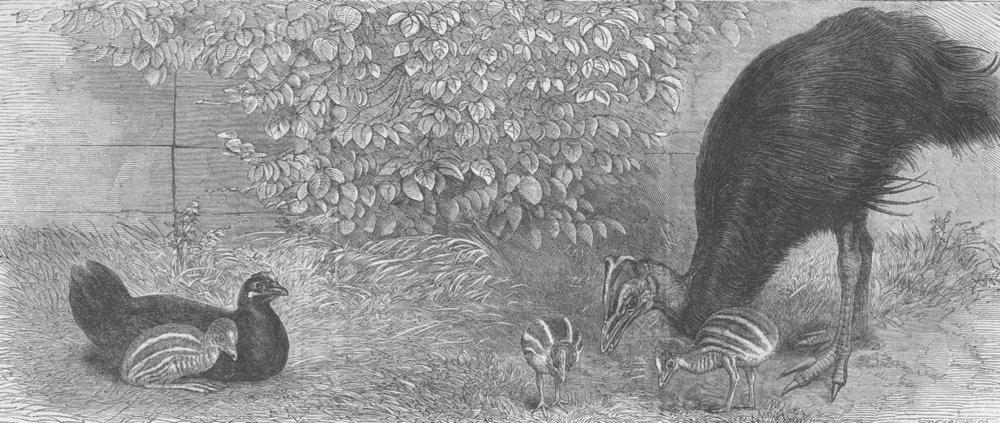 Associate Product LONDON. Mooruk, zoo, Regent's park, antique print, 1864