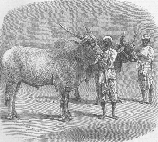 Associate Product INDIA. Farm show, Roorkee. Prize field-bullocks, antique print, 1855