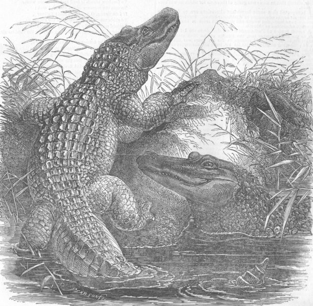 Associate Product LONDON. Alligators, Zoological Society's Menagerie, antique print, 1854