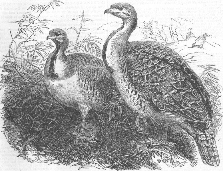 Associate Product BIRDS. Mallee(Australian), zoo, Regent's Park, antique print, 1854
