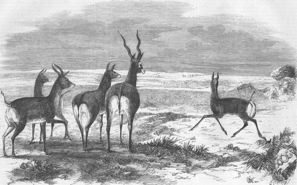 Associate Product INDIA. Antelope hunting. Antelopes startled, antique print, 1858