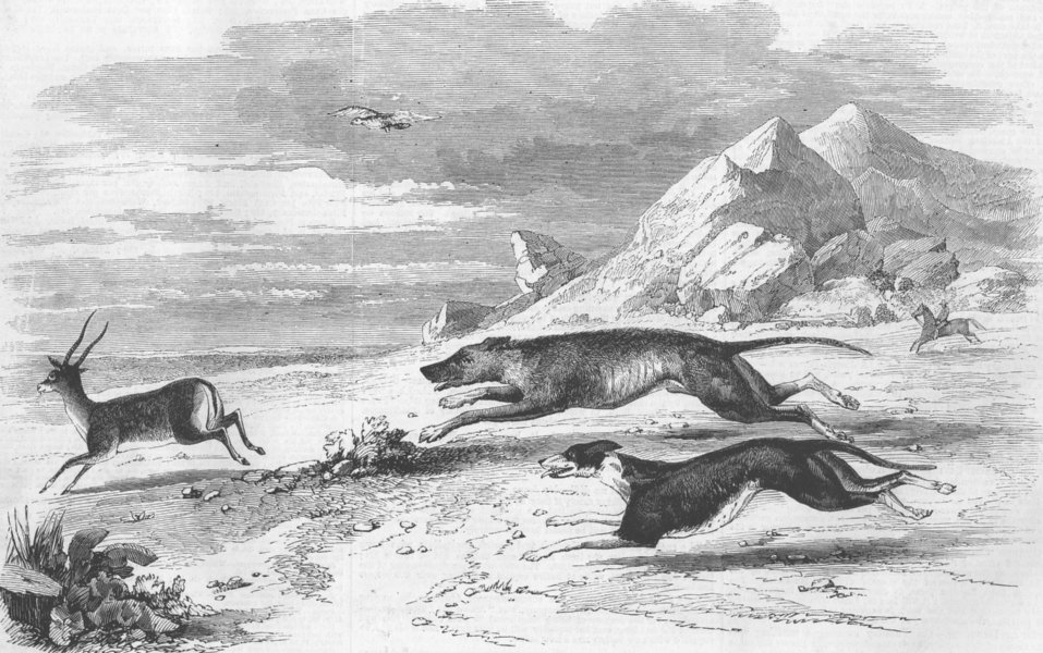 Associate Product INDIA. Antelope hunting. chase, antique print, 1858