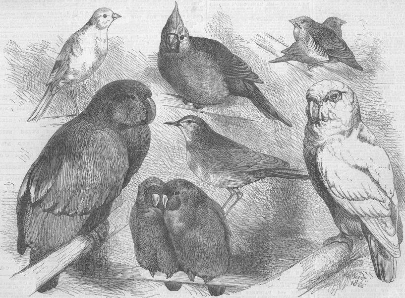Associate Product BIRDS. Canary, Nightingale, Waxbills, Parrot, Cockatoo, antique print, 1866