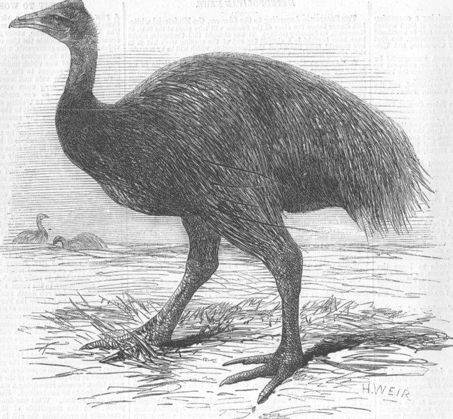 Associate Product LONDON. London Zoo. The Mooruk, antique print, 1858