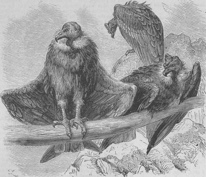 Associate Product BIRDS. Condors at rest, antique print, 1874