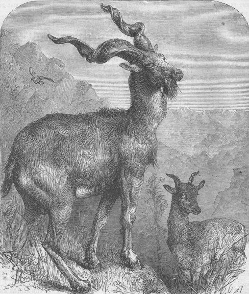 LONDON. Markhore goat, Zoo, Regent's Park, antique print, 1866
