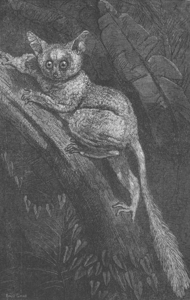 Associate Product LONDON. Galago Maholi, Regent's Park, antique print, 1866