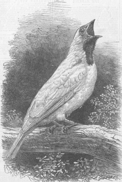 Associate Product BIRDS. Bell-Bird of South America, Zoo, Regent's Park, antique print, 1866
