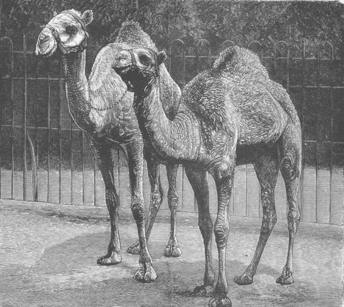 Associate Product CAMELS. From El Teb Sudan. As they are now, antique print, 1885
