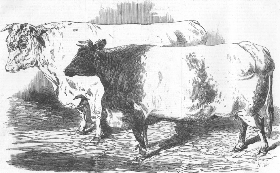 Associate Product CUMBS. Short-horned bull; Hereford ox, antique print, 1855