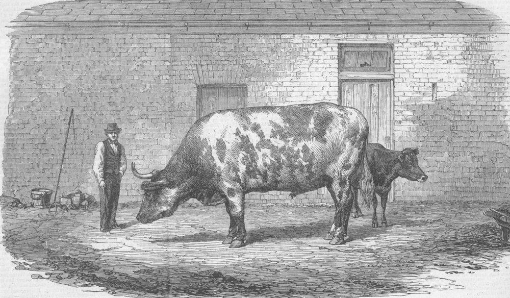 Associate Product AUSTRALIA. The Australian ox Tooran, antique print, 1862