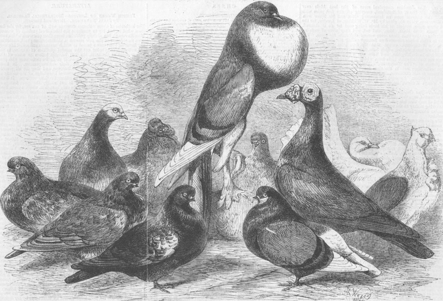 Associate Product YORKS. Prize pigeons, show of Halifax Pigeon Assn, antique print, 1862